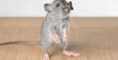 What Do Mouse Droppings Look Like & How to Get Rid of Mice