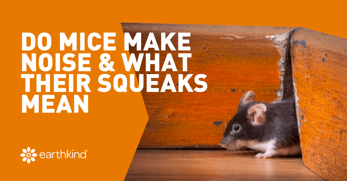 Mouse Sounds - Do Mice Make Noise & What Their Squeaks Mean