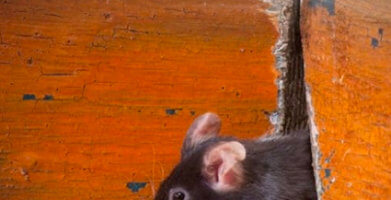 Mouse Noises – What They Sound Like & What They Mean
