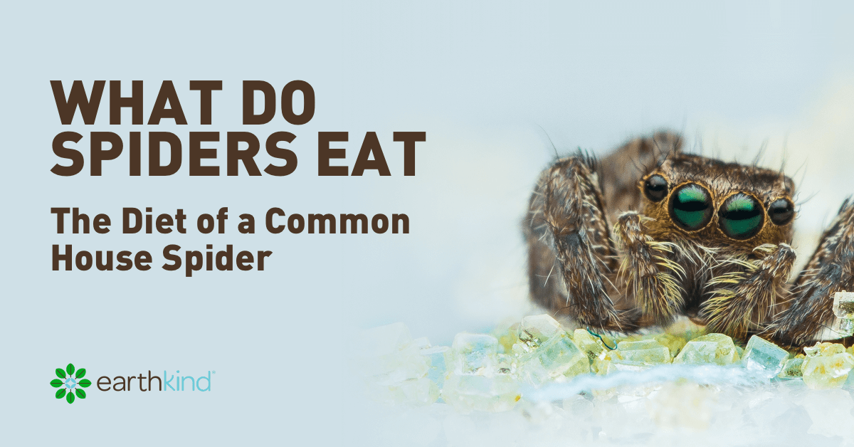 What do Spiders Eat - The Diet of a Common House Spider | Earthkind