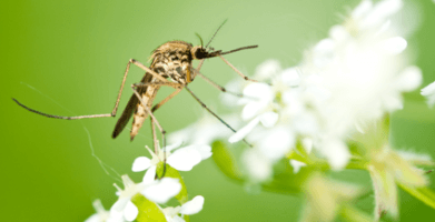 What Do Mosquitoes Eat?—Exploring the Mosquito Diet