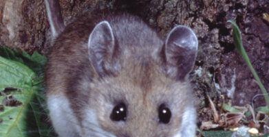 Hantavirus: A Potentially Fatal Disease Spread by Mice